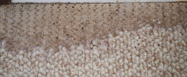 Carpet Beetle Nature S Way Pest Company